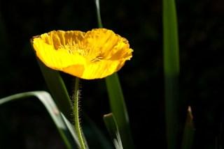 yellow-poppy