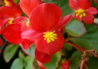 begonia-red