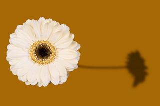 白い ガーベラ 花 言葉