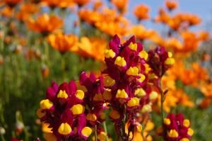 リナリアの花言葉