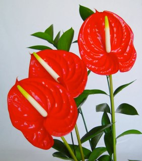 anthurium-red