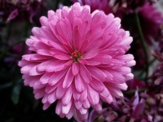 aster_pink