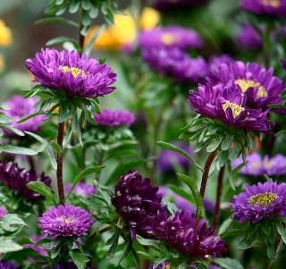 紫のエゾギク(アスター)
