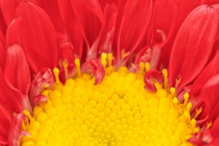 aster_red