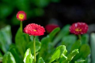 赤いデイジーの花言葉
