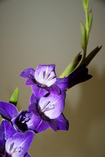 gladiolus_purple