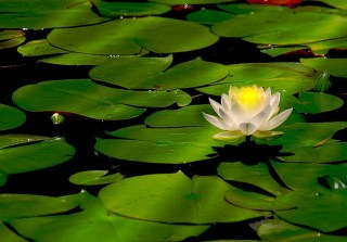 water-lily_2