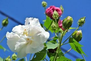 芙蓉、Cotton rose_2