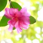 ピンクのサザンカ、sasanqua_pink
