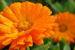 キンセンカの花言葉