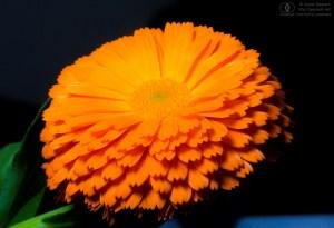 オレンジのキンセンカ