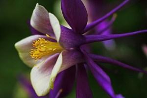オダマキの花言葉
