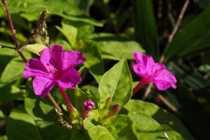 オシロイバナの花言葉