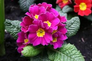 プリムラの花言葉