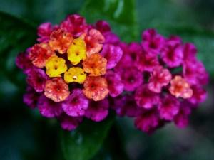 ランタナの花言葉