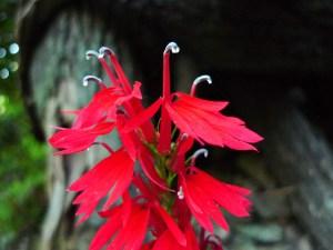 Lobelia cardinalis-01