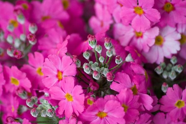 サクラソウの花言葉