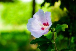 ムクゲの花言葉