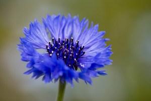 ヤグルマギクの花言葉