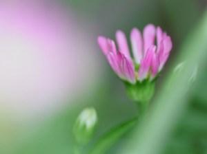 ピンクのミヤコワスレ