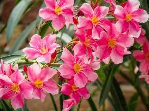 Oleander-01