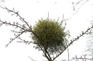 Mistletoe-01
