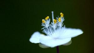 ブライダルベールの花言葉