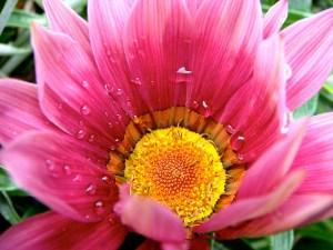 ピンクのガザニア