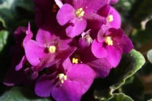 African violet-03