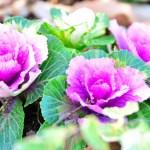 Flowering-kale-01