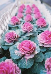Flowering-kale-03