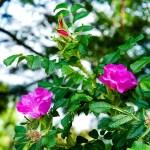 Ramanas rose-01