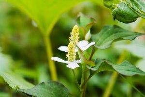 Chameleon plant-01