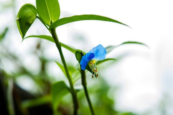 Dayflower-01