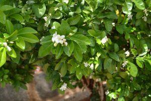 Orange jasmine-02