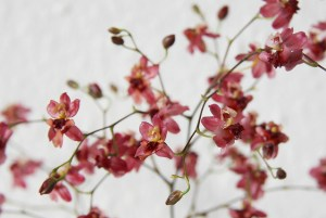 Dancing lady orchid-03