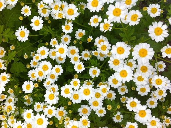 マトリカリアの花言葉