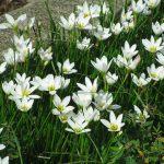 Zephyr flower-01