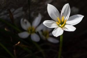 Zephyr flower-02