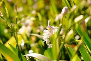 Fringed iris-02