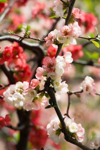 Japanese quince-02