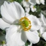 シュウメイギクの花言葉