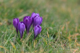ISO400, F2.8, 1/1000sec - Side angle of the crocuses, you can no longer see the orange in the centre
