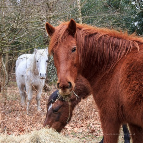 ISO 400, F10, 1/40sec - New Forest Ponies enjoying some hay.