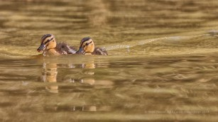 Twin ducklings - ISO400, F6.3, 1/1600 sec, 500 mm focal length.