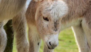 A close crop of the donkey foal with mum - filling the frame.