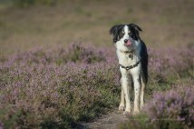 The PhotoBuddy in the Heather - ISO100, F5.6, 1/500sec
