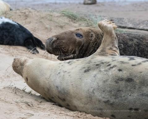 Seals captured at Donna Nock. A pup and a bull seal....