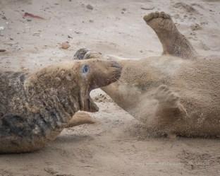 Seals captured at Donna Nock. Play?