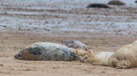 Life - a dead pup being eaten by a sea bird